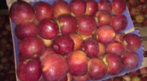 (VIDEO) 21 de tone de mere au fost nimicite de buldozerele rusești