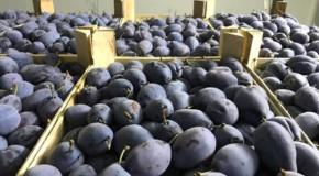 """Rusia zice """"niet!"""" prunelor din Republica Moldova"""